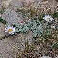 Leucanthemopsis tomentosa (Marguerite laineuse - Massif du Monte Rinosu - 7 juillet 2013