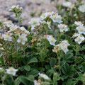 Potentille à nervure épaisse - Massif du Monte Rinosu - 7 juillet 2013