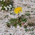 Pissenlit de Litardière - Massif du Monte Rinosu - 7 juillet 2013