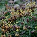Plantain pseudo-alpin - Massif du Monte Rinosu - 7 juillet 2013