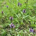 【タテヤマウツボグサ】 紫色の花が固まって咲きます。名前の由来は、弓矢を入れるうつぼに似ていることから。日当たりの良い野原などに自生する多年草。   ・花期:6~8月  ・生息地:北海道から九州。
