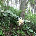 【ヤマユリ】 ユリ科・多年草 直径22~24cmもある大きな白い花には、黄色いすじと赤い斑点があり、むせかえるほどの強い香りがする。  ユリの根は、日本料理の高級素材です。