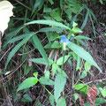 【ツユクサ】 道ばたや草地などでよく見られ、高さ30~50cmになる。花びらを指で揉むと指が青くなるが、この花の汁は、昔。布を染める時の下書きに用いられた。