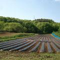 こちらの畑、定植完了。頑張りました~もう5月末です~