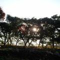ここはサバンナ? 夕暮れの美しい畑より。