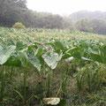 雨の恵みを頂戴して、もう少し成長。
