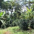 Schattenbäume Sie schützen den Kaffee vor intensiver Sonnenbestrahlung und helfen dem Boden die Feuchtigkeit zu konservieren.