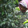 Pflückerin bei der Ernte. Durchschnittlich werden 40 kg von Hand einzeln gepflückt