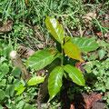 Das Bäumchen wird 30 cm über dem Boden abgesägt. Es werden dann zwei Zweige gezogen.