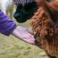 Alpaka füttern