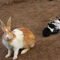 ウガンダのNEWTOPIAで飼われていたウサギ。