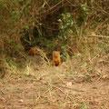 ケニア・マサイマラのコビトマングース。