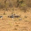 ケニア・マサイマラの肉食の鳥。ハゲコウか?