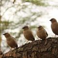 ケニア・マサイマラの整列した小鳥。