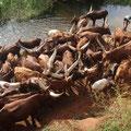 ウガンダの水を汲みに行った川のウシ。