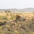 ケニア・マサイマラの雄々しきライオン♂。