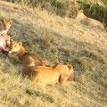 ケニア・マサイマラの食事中のライオン♀。