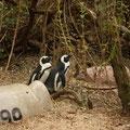 南アフリカのボルダーズビーチの仲良しペンギン。