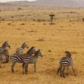 ケニア・マサイマラのシマウマ。