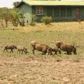 ケニア・マサイマラで案外一番可愛いイボイノシシ。
