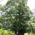 Les arbres sont plus que centenaire