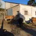 Le vaches dans le village deFonfria
