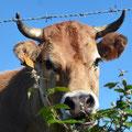 toujours aussi belles les vaches Espagnoles