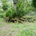 Des arbres plus que centenaires