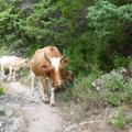 Les jolies vaches Corse