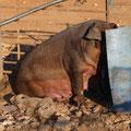 Un grand élevage de cochons en semi liberté
