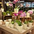 Schöne Orchideen und passende Übertöpfe