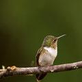 Vulkanelfe (Volcano hummingbird)