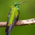 Grünstirn-Brillantkolibri (Grünscheitelbrillant)