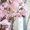 桜の香りにミツバチもそそられる~❤