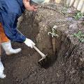 ごぼう掘り