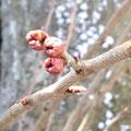 慶應桜のつぼみ