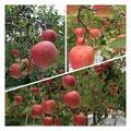 岩本農園産:芸北りんご