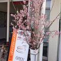 満開の慶應桜がお出迎え♪