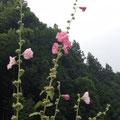 「梅雨葵」先端まで咲くと梅雨明けと云われている