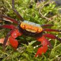 Crabes terrestres