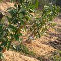 レモン(ビラフランカ)の2年生苗木