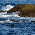 Dazwischen schwamm eine Robbe herum.