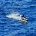 Unterwegs waren wieder Schweinswale zu sehen.