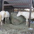 Dans l'abris, les chevaux découvre la nouveauté