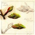 Études Bourgeons - Crayon gris et pastels