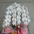 リップがクリーム色の白い胡蝶蘭