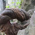 kuriose Wurzeln zwängen sich durch Felsen