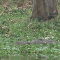und dann doch wieder Krokodile - zum Glück weit weg (staker Zoom)