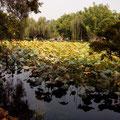 Lotuspflanzen überall