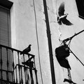 palomas en un balcón en Córdoba